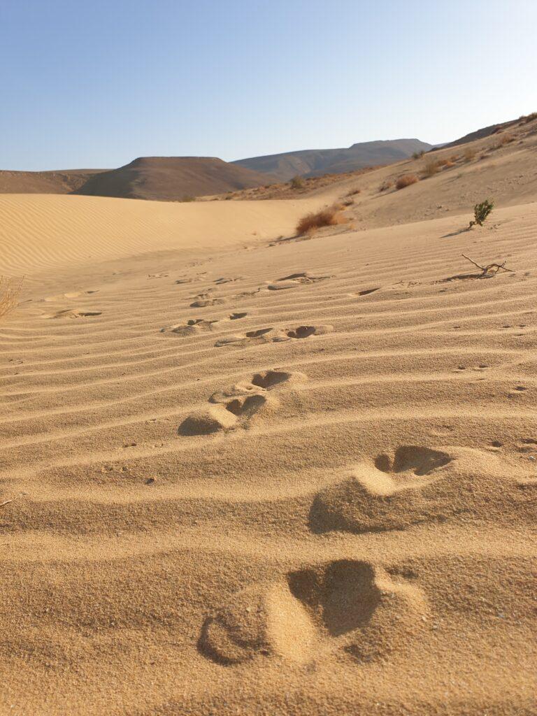 Negev Gazzelle footprints