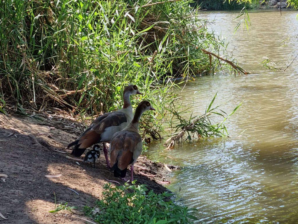 Ducks in the heart of Tel Aviv city