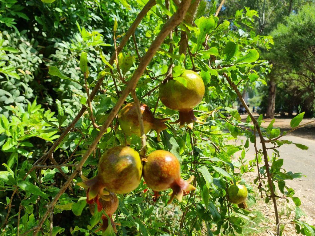 Pomegranates at Tel Aviv camping